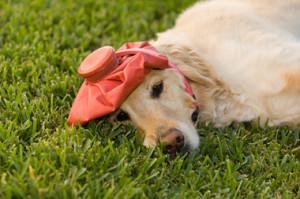 migraine-dog